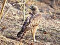Changeable Hawk eagle at Sarhi.jpg
