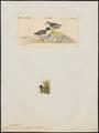 Charadrius monachus - 1700-1880 - Print - Iconographia Zoologica - Special Collections University of Amsterdam - UBA01 IZ17200231.tif