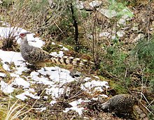 Cheer pheasant pair sighted near Lata village, Nanda Devi National Park