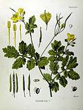 Chelidonium majus (Köhler)