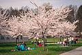 Cherry blossom festival (26185515080).jpg