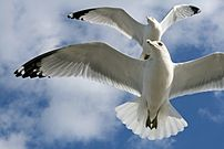 Ring-billed Gulls Larus delawarensis in flight...