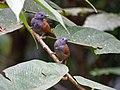Chestnut-winged Babbler (13893412757).jpg