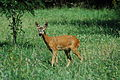 Chevreuil - roe deer near Saou in French Drome.jpg