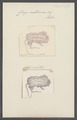 Chiaja multicornis - - Print - Iconographia Zoologica - Special Collections University of Amsterdam - UBAINV0274 110 01 0010.tif