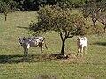 Chianina Toscana.jpg