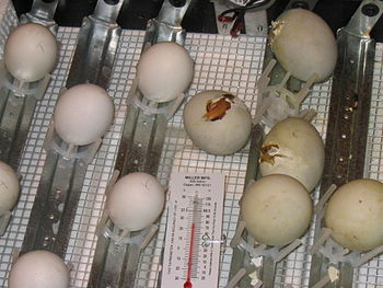 This is a photograph of three chicks hatching ...