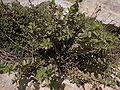 Chiliadenus bocconei Dingli Cliffs Malta 01.jpg