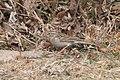 Chipping Sparrow ( immature ) Patagonia Lake SP Patagonia AZ 2018-11-22 11-58-18-2 (45282112694).jpg