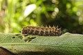 Chocolate Pansy Junonia iphita Caterpillar by Dr. Raju Kasambe DSCN7011.jpg