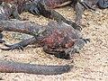 Christmas Iguanas - Marine Iguanas - Espanola - Hood - Galapagos Islands - Ecuador (4871408722).jpg