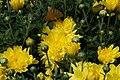 Chrysanthemum Erica 1zz.jpg