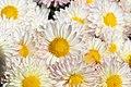 Chrysanthemum Lantern 1zz.jpg