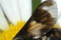 Chrysops.caecutiens9.-.lindsey.jpg