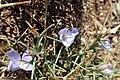 Cichorium spinosum kz03.jpg