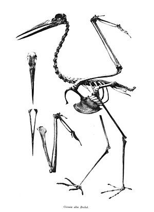 White stork - Skeleton