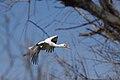 Cigogne dans le Parc Ornithologique de Pont de Gau en Camargue.jpg
