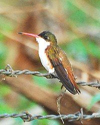 Cinnamon-sided Hummingbird