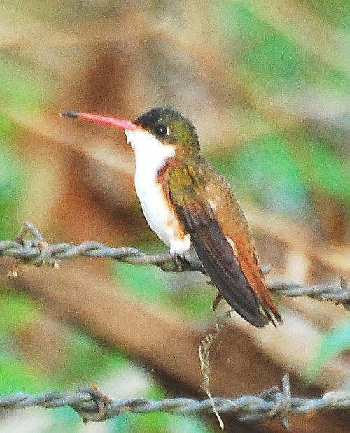 500px Cinnamon sided Hummingbird