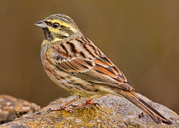 Cirl bunting cropped