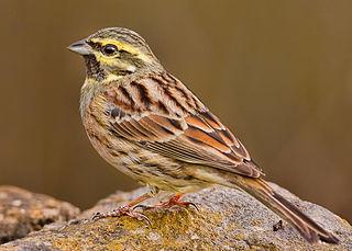Bunting (bird) family of passerine birds