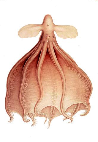 John Murray (oceanographer) - The Cirrothauma murrayi octopus, named after Murray