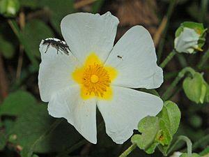 Cistus salviifolius - Image: Cistaceae Cistus salviifolius 1