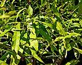 Citrus salicifolia in Jardin des Plantes de Toulouse 04.jpg
