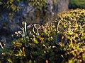Cladonia fimbriata 01.jpg