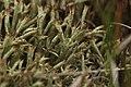 Cladonia uncialis (36206325012).jpg