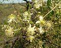 Clematis brachiata, blomme, Groenkloof NR.jpg