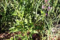 Cleome elegantissima-2497 - Flickr - Ragnhild & Neil Crawford.jpg