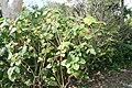 Clerodendrum speciosissimum 15zz.jpg