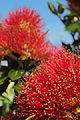 Close-up of pohutukawa flowers in full bloom at Christmas time.jpg
