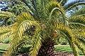 Coastal Georgia Botanical Gardens, Canary Island Data Palm Phoenix canariensis.jpg