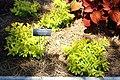 Coastal Georgia Botanical Gardens, Chartreuse Golden Dewdrop Duranta erecta 'Cuban Gold'.jpg