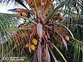Coconut tree top view.jpg