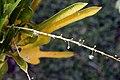 Codiaeum variegatum 31zz.jpg