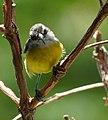 Coereba flaveola (Mielero común) - Flickr - Alejandro Bayer (4).jpg