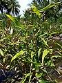 Coix lacrima-jobi (Poaceae) 03.jpg