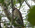 Colaptes auratus chrysocaulosus, Cuban Northern Flickr - Flickr - gailhampshire (1).jpg