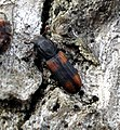 Coleoptera - Bitoma crenata (3447215705).jpg