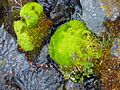 Colorful moss covered rocks in a stream (6480081613).jpg