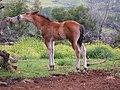 Colt and Cactus. Marcia Berkowitz Maui Hawaii - panoramio (1).jpg