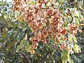 Combretum collinum04.jpg
