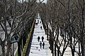 Comienza la regeneración del arbolado del Paseo de la Castellana 02.jpg