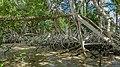 Commewijne mangrove (30438234484).jpg