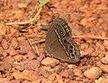 Common Bushbrown Mycalesis perseus by Dr Raju Kasambe DSCN2835 (5).jpg