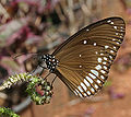 Common Indian Crow (Euploea core) on Indian Turnsole (Heliotropium indicum) W IMG 9747.jpg