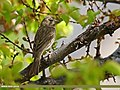 Common Rosefinch (Carpodacus erythrinus) (27177291901).jpg